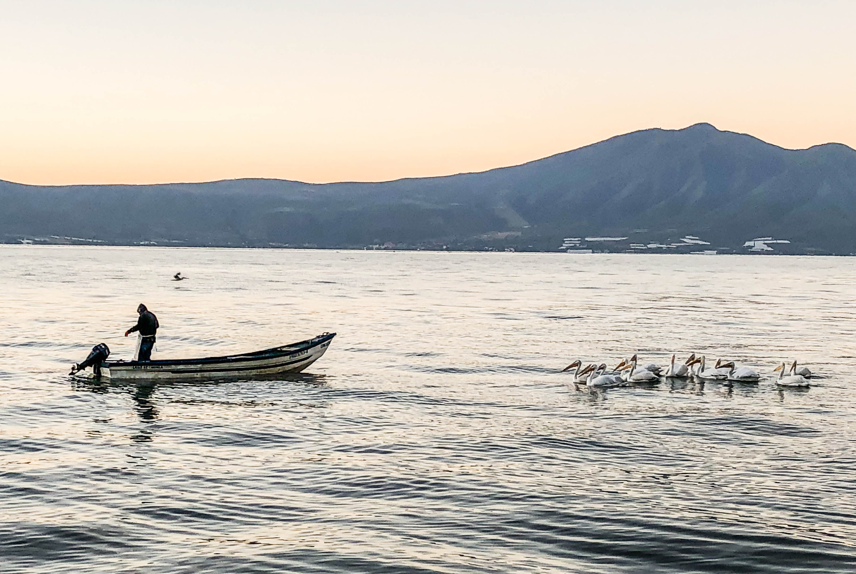 pelican-3489